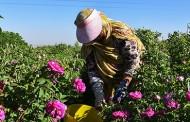 برداشت گلمحمدی در آذربایجان شرقی